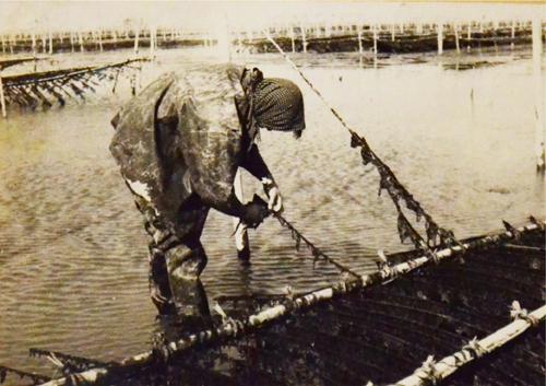 女竹に海苔を養殖し、手作業で海苔を収穫している様子