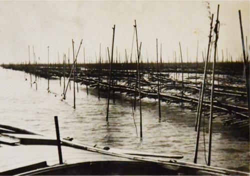 女竹の海苔を養殖している様子
